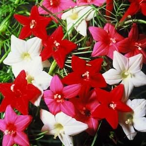 Cypress Vine flowers - Ipomoea quamoclit