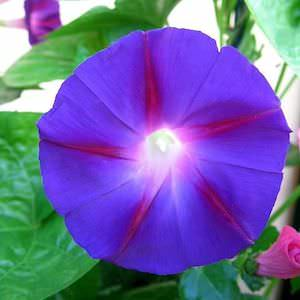 Morning Glory Seeds 13 Morning Glories Vine Seeds