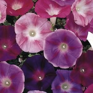 Morning glory Imperial Formula Mix - flowering vine seeds