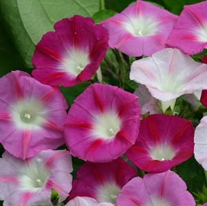 La Vie en Rose morning glory