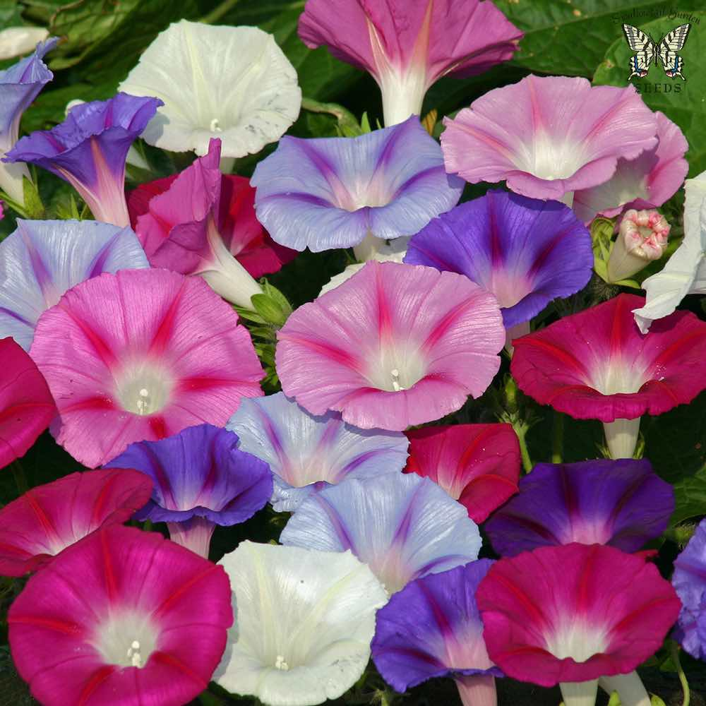 Lazy Luxe Mix morning glory seeds