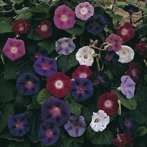 Morning Glory Mix - flowering vine seeds