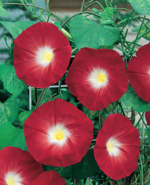 Scarlet O'Hara morning glory seeds - Flowering Vine Seeds