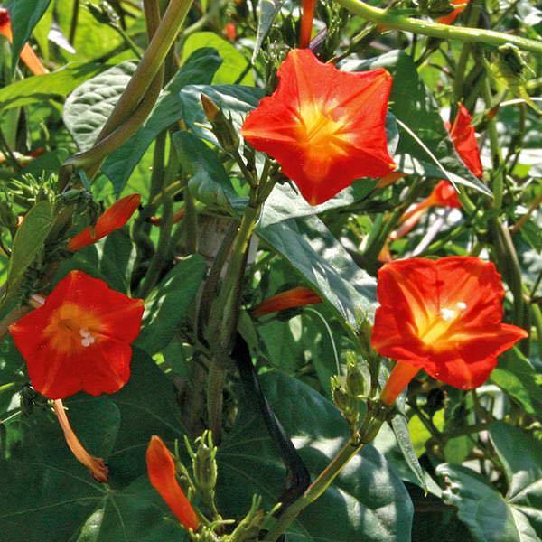 Morning Glory Sunspots vine seeds