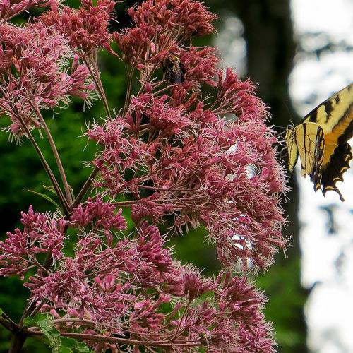 joe pye weed seeds perennial flower seed swallowtail garden seeds