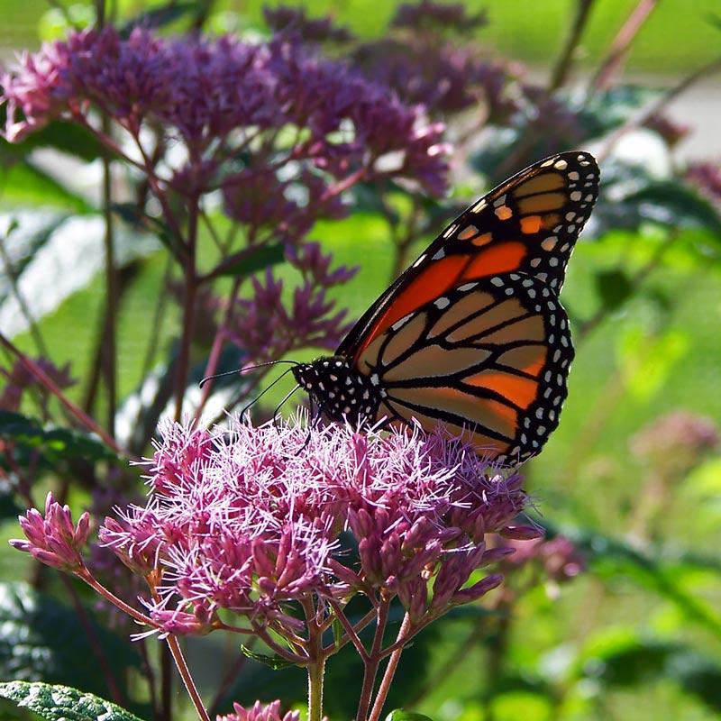 Monarch butterfly on Joe-pye weed flowers