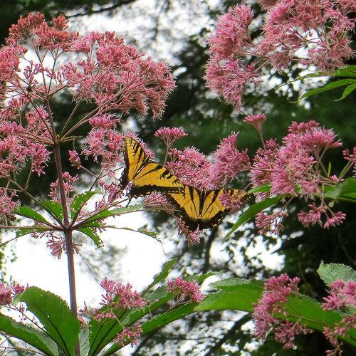 Joe-pye weed with Swallowtail butterflies