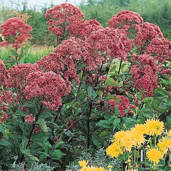 Joe pye weed seeds perennial flower seed swallowtail for Joe pye weed