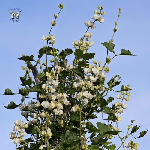 Silver Moon Hyacinth Vine seeds