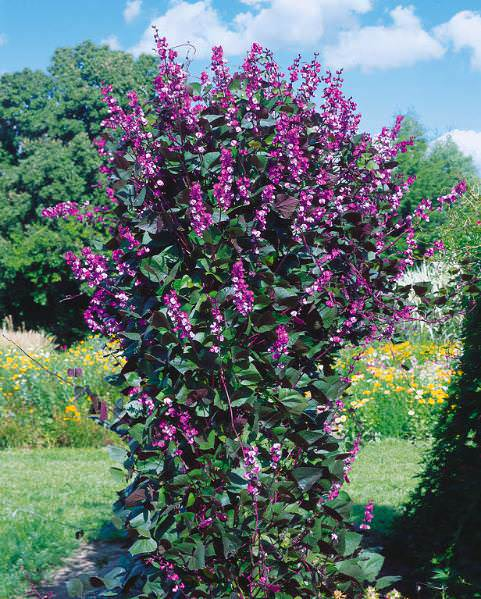 Ruby Moon Hyacinth Vine seeds