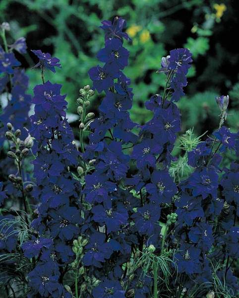 Larkspur Giant Imperial Blue annual flower seeds.