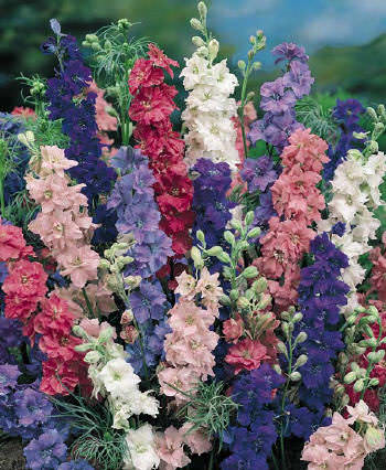 Choice Mix Giant Imperial Larkspur flowers