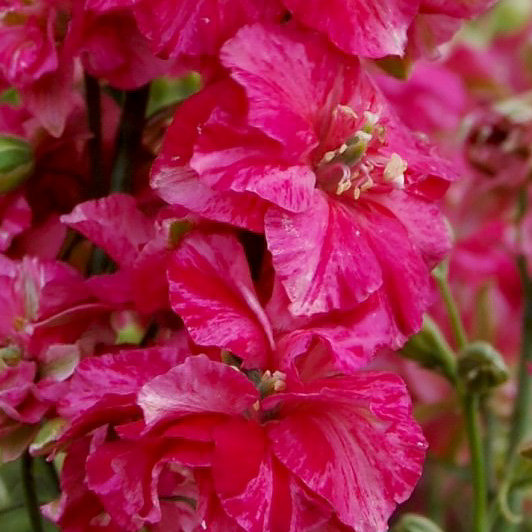 Giant Imperial Carmine King larkspur seeds