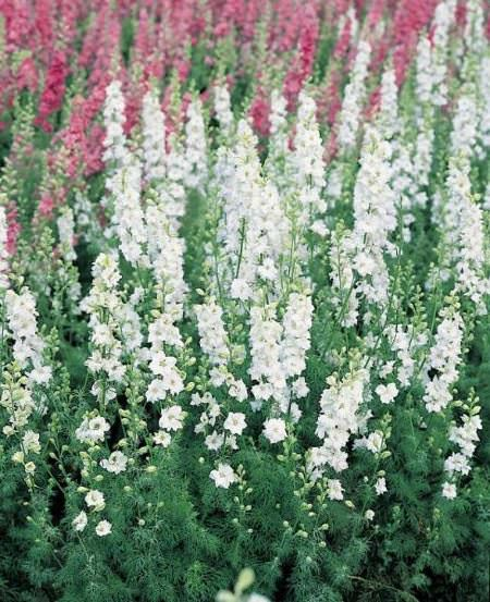White King Giant Imperial larkspur seeds