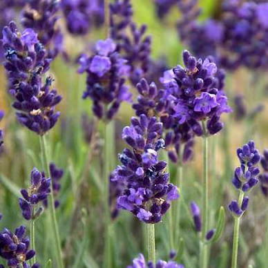 Lavance Purple lavender perennial flower seeds