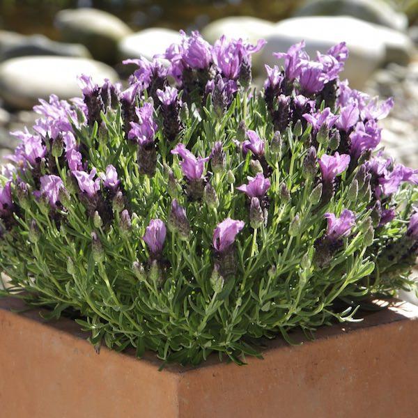 Lavender Bandera Purple - Lavandula stoechas