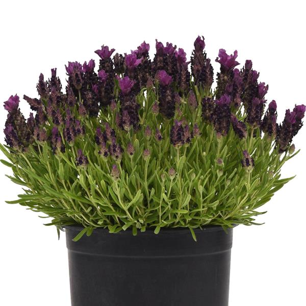 Lavender Bandera Deep Purple - Lavandula stoechas