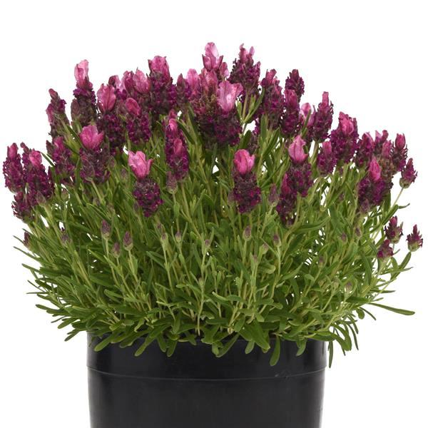 Lavender Bandera Deep Rose - Lavandula stoechas