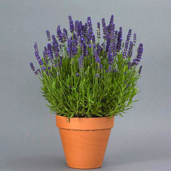 Lavender Blue Spear flowers