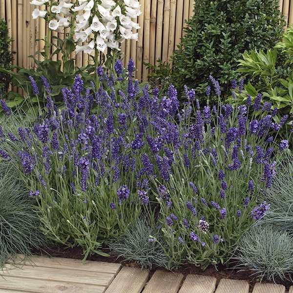 Lavender Ellegance Purple - Lavandula angustifolia