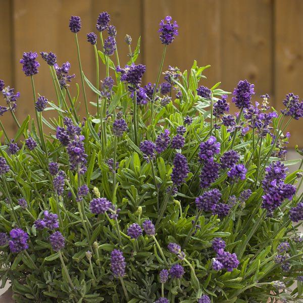 Lavender Mini Blue - Lavandula angustifolia