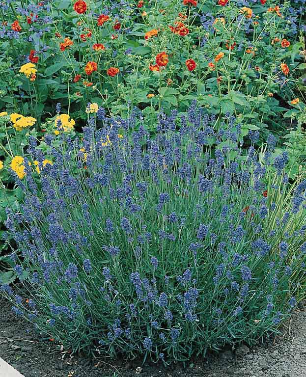 Lavender Munstead - Lavandula angustifolia