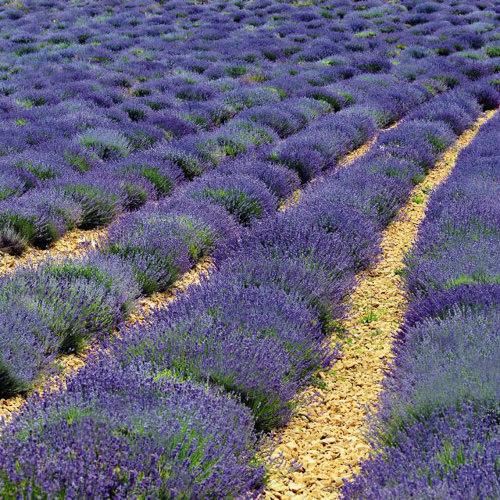 Lavender Vincenza Blue - Lavandula angustifolia
