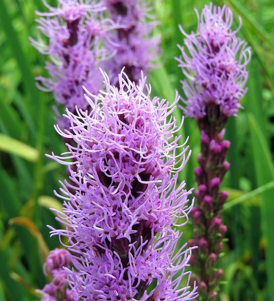 Gayfeather Floristan Violet - Liatris spicata - Perennial Flower Seeds