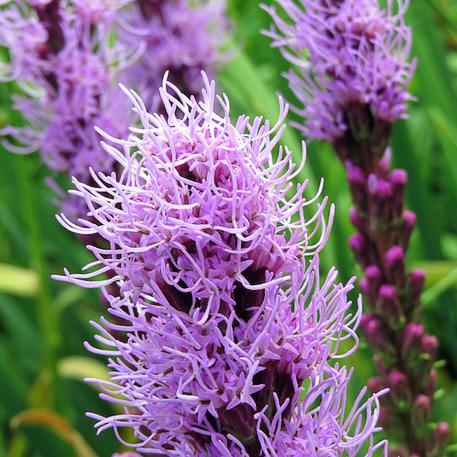 Gayfeather Floristan Violet - Liatris spicata