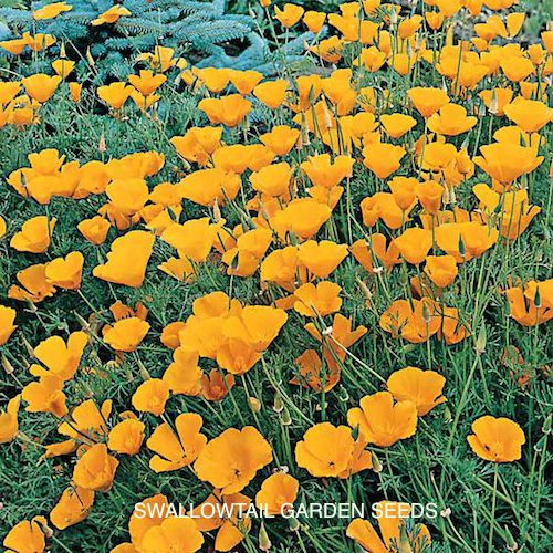 California poppies in bloom.
