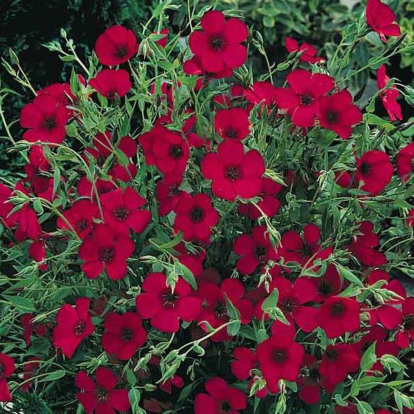 Scarlet Flax Wildflower Seeds Linum Annual Flower Seeds