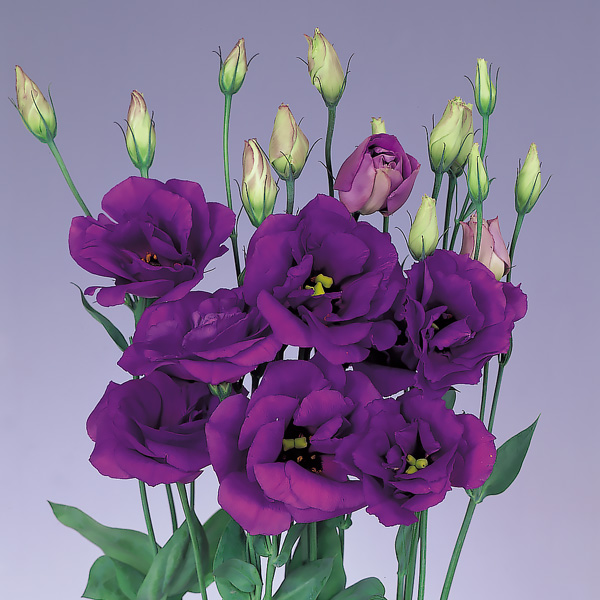 Echo Blue lisianthus seeds