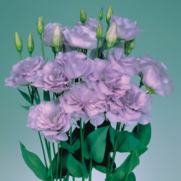Echo Lavender lisianthus seeds