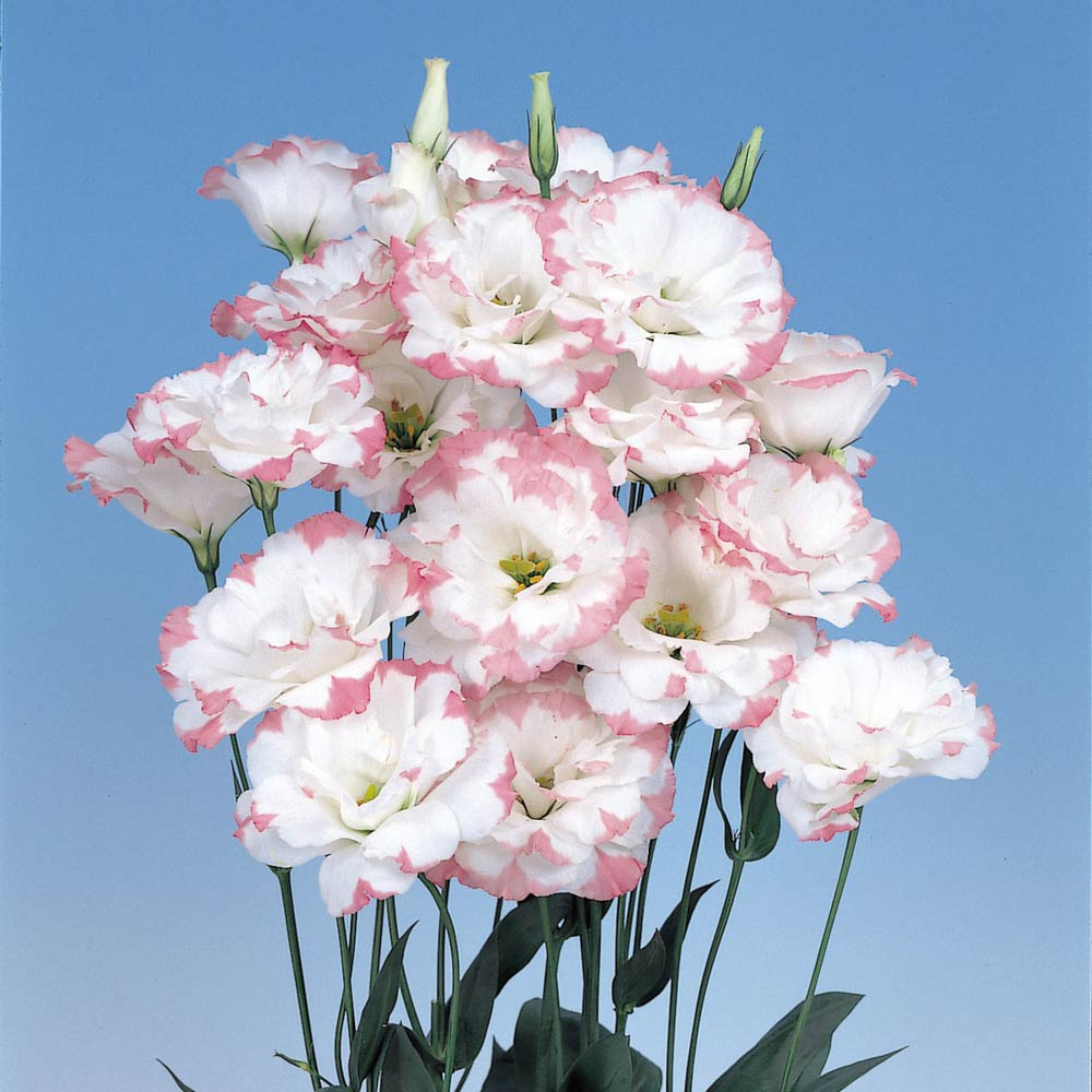 Echo Pink Picotee lisianthus seeds
