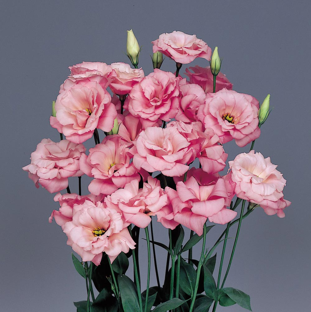 Lisianthus seeds buy lisanthus seed annual flower seeds echo pink lisianthus seeds mightylinksfo