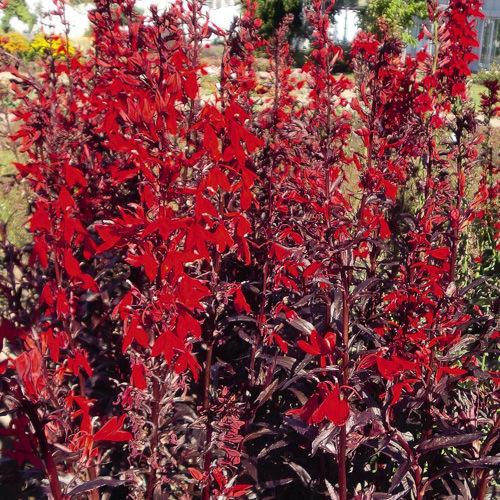 Lobelia Queen Victoria - Lobelia x cardinalis - perennial flower seeds