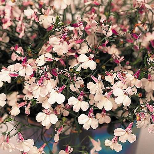 Lobelia Regatta Lilac - annual flower seeds