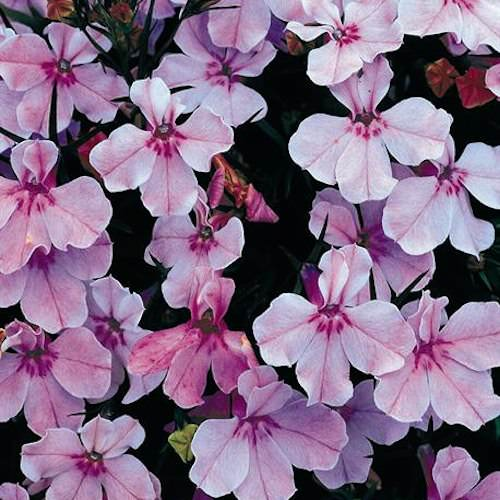 Regatta Lilac lobelia seeds