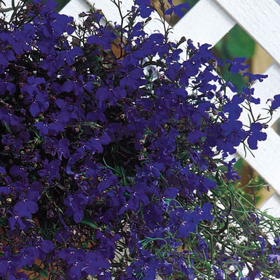 Regatta Midnight lobelia seeds