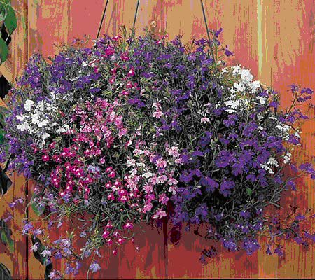 Regatta Mix lobelia seeds