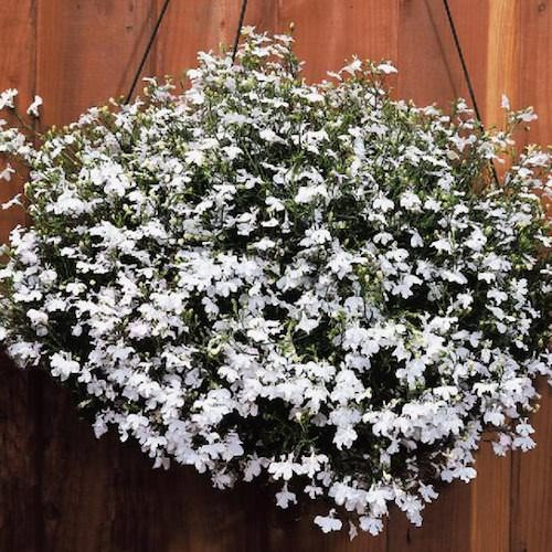 Regatta White lobelia seeds