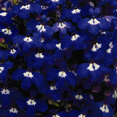 Riviera Blue Eyes lobelia seeds