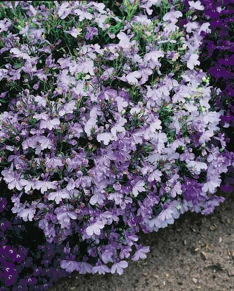 Riviera Blue Splash lobelia seeds