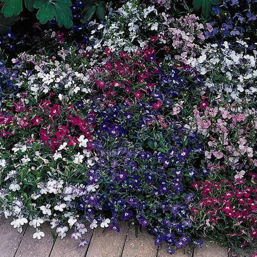 Riviera Mix lobelia seeds