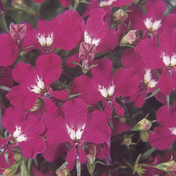 Lobelia Riviera Rose - annual flower seeds