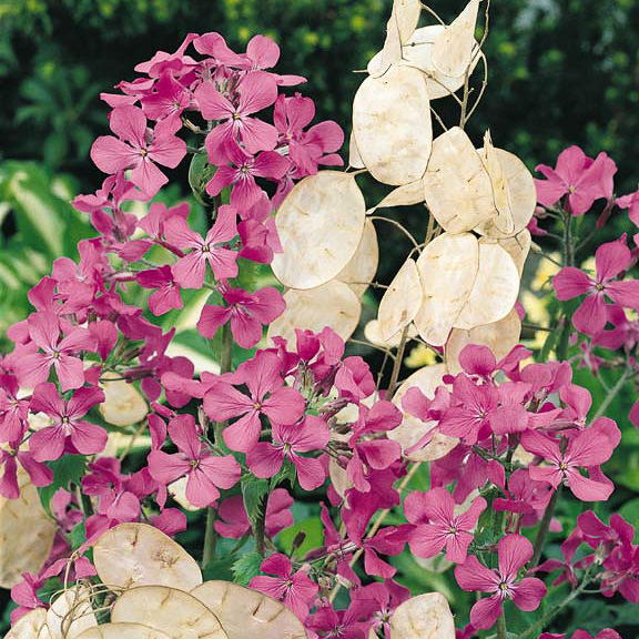 Money Plant - Lunaria annua - Perennial Flower Seeds
