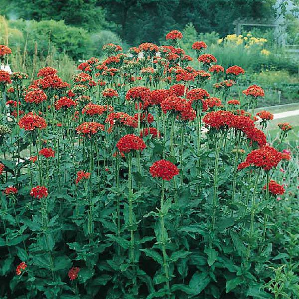 Lychnis Seeds Maltese Cross Amp Rose Campion Perennial