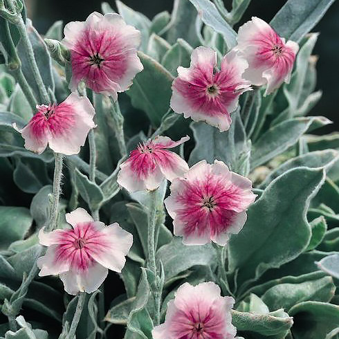 Rose Campion Occulata - Lychnis coronaria occulata