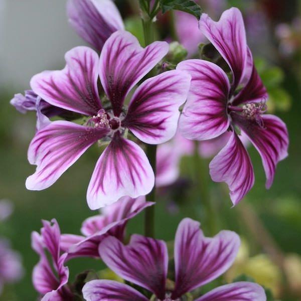 Zebra hollyhock Bibor Felho - Malva sylvestris - perennial flower garden seeds.