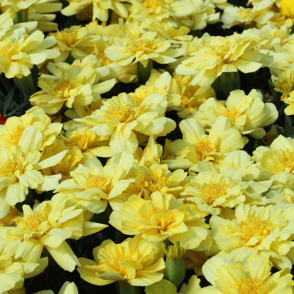 Alumia Vanilla Cream marigold - Garden Seeds - Annual flower seeds